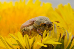 The big Chafer. Huge chafer climbed into the yellow flower on sky Stock Photography