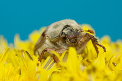 The big Chafer. Huge chafer climbed into the yellow flower on sky Stock Images