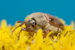 The big Chafer. Huge chafer climbed into the yellow flower on sky Stock Photos