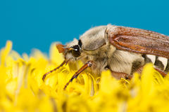 The big Chafer. Huge chafer climbed into the yellow flower on sky Royalty Free Stock Photos