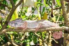 Big chameleon Stock Photography