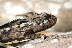 Big chameleon close up Royalty Free Stock Photography