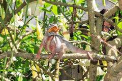 Big Chameleon Madagascar Royalty Free Stock Photos