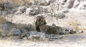 A big cheetah with puppies stock photo