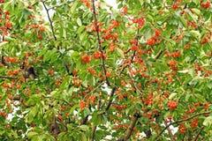 Big cherries tree with berries royalty free stock photos
