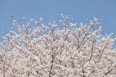 Big cherry blossom tree Stock Photos