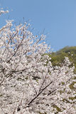 Big cherry blossom tree Royalty Free Stock Photo
