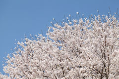Big cherry blossom tree. Against the clear blue sky royalty free stock image