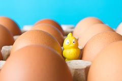 Big chicken eggs in a cardboard box and a small yellow toy chick stock photo