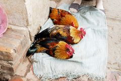 Big chicken sleeping in the market Royalty Free Stock Images
