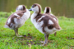 Big chicks Stock Photo