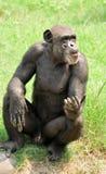 Big chimpanzee stock photo