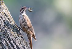 Big Chinchero perched on the trunk of a tree with a worm in its beak. Looking to the right Royalty Free Stock Photo