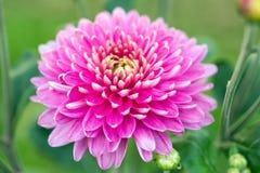 Big chrysanthemum flower Royalty Free Stock Image