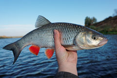 Really big chub in fisherman's hand Royalty Free Stock Images
