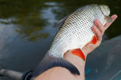Big chub in fisherman's hand Royalty Free Stock Photo