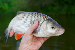 Big chub in fisherman's hand Royalty Free Stock Image