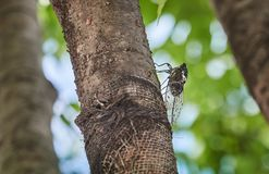 Big cicada on a tree. Big cicada insect on a tree at summer day Stock Images