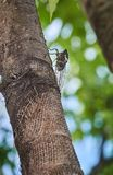 Big cicada on a tree. Big cicada insect on a tree at summer day Royalty Free Stock Photos