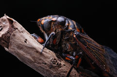 A big cicada close-up. A big cicada,very strong,somewhat scary Royalty Free Stock Image