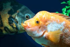 Big Cichlids in  Aquarium Stock Photography