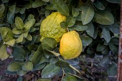 Big Citron lemon on branch of hyrid lemon tree. Big lemon type stock photo