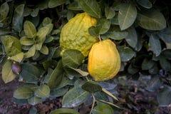 Big Citron lemon on branch of hyrid lemon tree. Big lemon type stock images
