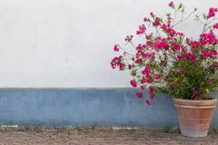 Big clay flowerpot with red flowers against white and blue wall. Outdoor and street decoration. Big clay flowerpot with red flowers against white and blue wall stock photos