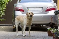 Big clever light yellow brown dog Labrador- retriever standing in front of silver shiny car in paved yard on bright sunny summer d. Ay. Guard, protection Royalty Free Stock Photography