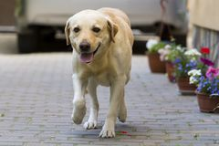 Big clever light yellow brown dog Labrador- retriever standing i. N front of silver shiny car in paved yard on bright sunny summer day. Guard, protection Royalty Free Stock Photo
