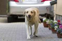 Big clever light yellow brown dog Labrador- retriever standing i. N front of silver shiny car in paved yard on bright sunny summer day. Guard, protection Royalty Free Stock Image