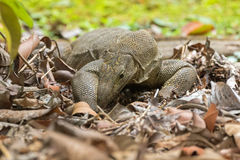 Big Clouded monitor lizard digging soil looking for food on the. Ground in garden in Singapore Varanus nebulosus Stock Image