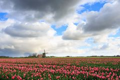 Big clouds over pink tulips and a windmill. Big storm clouds above a field with pink tulip flowers and a windmill in spring in the dutch countryside, Bulb Region Royalty Free Stock Image