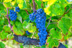 Big cluster of blue grapes Stock Image
