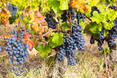 Big cluster of blue grapes Stock Photography