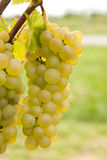 Big cluster of grapes Stock Photo