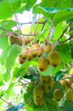 Big cluster of kiwi. Fruit on the tree Stock Photos