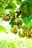 Big cluster of kiwi fruit. On the tree Stock Photography
