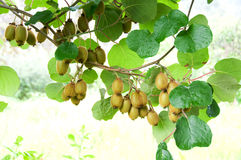 Big cluster of kiwi fruit Stock Photography
