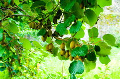 Big cluster of kiwi fruit Royalty Free Stock Image
