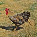 Big cock running Stock Photos
