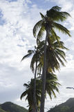 Big coconuts tree at San Juan del Sur bay Royalty Free Stock Photos
