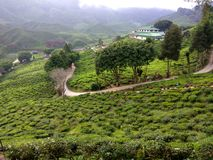 Big and cold tea farm view royalty free stock photo