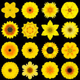 Big Collection of Various Yellow Pattern Flowers Isolated on Black royalty free stock photography