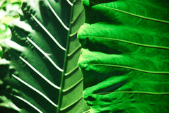 Big colocasia leaf Stock Image