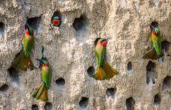 Big colony of the Bee-eaters in their burrows on a clay wall. Africa. Uganda. An excellent illustration stock images