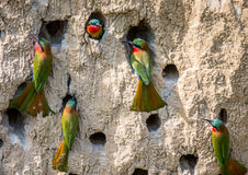 Free Big Colony Of The Bee-eaters In Their Burrows On A Clay Wall. Africa. Uganda. Royalty Free Stock Photos - 90828428