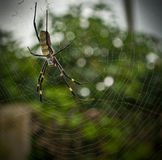 Big Colorful Banana Spider in Web. Taken in Yunnan China, this banana spider is the size of a persons hand stock photos