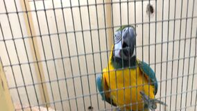 Big colorful blue and yellow macaw parrot, Ara ararauna climbs on a metal grate, cage using its beak and legs