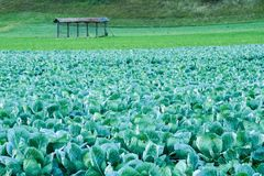 Big colorful cabbage filed on a countryside farm stock photo